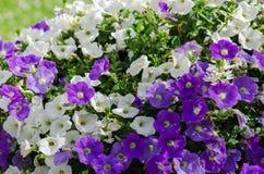 Beautiful white and purple petunia flowers close-up Royalty Free Stock Image