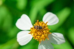 Beautiful white pyrethrum flowers   Bee. Bee flower marguerite summer white  natural flora color beauty garden paludosum leaf colorful spring leucanthemum Stock Photo