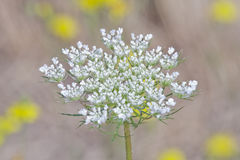 Beautiful White Queen Anne's Lace With Floral Background Royalty Free Stock Photo