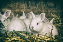 Beautiful white rabbits, analog filter royalty free stock images