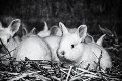 Beautiful white rabbits, big ears and red eyes, colorless royalty free stock photos