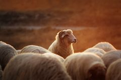 White ram with sheep herd at down Royalty Free Stock Photo