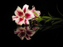 Beautiful white-red lily on a black background Stock Images