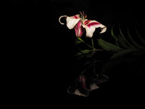 Beautiful white-red lily on a black background Royalty Free Stock Images