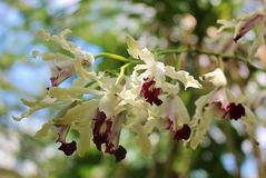 Beautiful white and red Oncidium orchid. Stock Photography