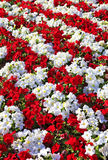 Beautiful white and red petunias arranged in rows Stock Photography