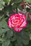 Beautiful white-red rose with rain drops Stock Photo