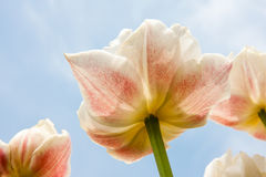 Beautiful white and red tulips facing the blue sky Stock Photo