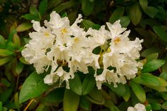 Beautiful white rhododendron flowers in the city garden stock photos