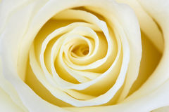 Beautiful  white rose Stock Photography