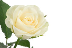Beautiful white rose Royalty Free Stock Photography