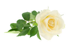 Beautiful white rose Royalty Free Stock Photo