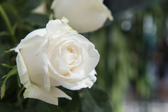Beautiful white rose as a natural in the garden. Royalty Free Stock Photography