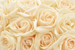 Beautiful white rose background Stock Image