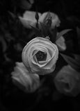Beautiful white rose black and white Stock Image