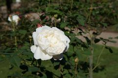 Beautiful white rose in bloom. Shallow depth of field, selective focus. Beautiful gorgeous rose in bloom. Shallow depth of field, selective focus royalty free stock photo