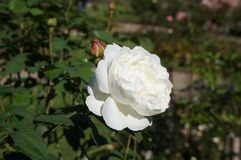 Beautiful white rose in bloom. Shallow depth of field, selective focus. Beautiful gorgeous rose in bloom. Shallow depth of field, selective focus stock photo