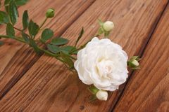 Beautiful white rose with buds on a wooden table Stock Images