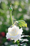 Beautiful white Rose close up Royalty Free Stock Image