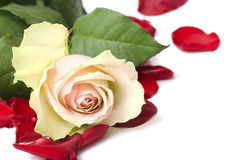 Beautiful white rose for Day Valentine as gift Stock Image