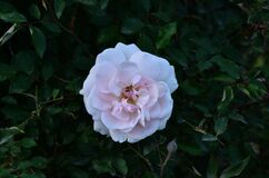 Beautiful White Rose Fiower In The Garden