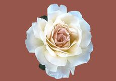 Beautiful white rose flower in bloom