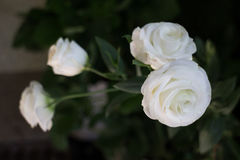 Beautiful white rose flower in the garden Stock Images