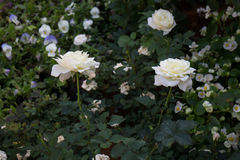 Beautiful white rose flower in the garden Royalty Free Stock Image