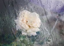 Beautiful white Rose flower growing in summer park on nature background. View through wet glass with water drops. royalty free stock images