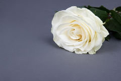 Beautiful white rose flower over grey Stock Images