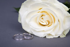 Beautiful white rose flower and wedding rings over grey. Background Stock Image