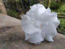 Beautiful white rose flowerwallpaper image stock image