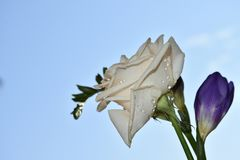 Beautiful white rose with freesia in the sunshine stock images