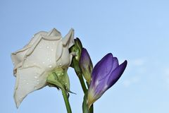 Beautiful white rose with freesia in the sunshine royalty free stock photos