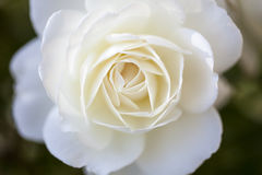 Beautiful white rose. In the garden Stock Images