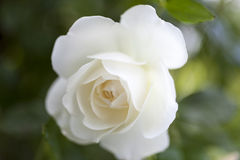 Beautiful white rose. In the garden Stock Photo