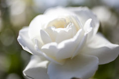Beautiful white rose. In the garden Stock Photos