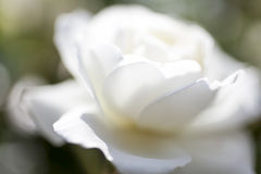 Beautiful white rose. In the garden Stock Image
