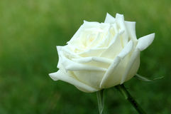 Beautiful white rose in a garden Royalty Free Stock Image