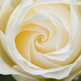 Beautiful white rose macro Stock Photos