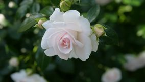 Beautiful White Rose In Natural Light. Beautiful White Rose With Natural Light royalty free stock photo