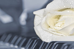 Beautiful white rose on piano royalty free stock photos