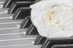 Beautiful white rose on piano stock photos