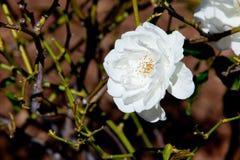 Beautiful white rose - Rosaceae Rosa Iceberg Floribunda. In bush in sunlight Stock Photos