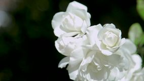 Beautiful white rose shrub. Close-up on a black background. Germany stock video footage