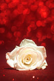 Beautiful white rose Stock Image