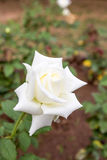 Beautiful white rose on tree Stock Image
