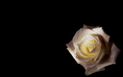 Beautiful white rose with water drops on black background Royalty Free Stock Photos