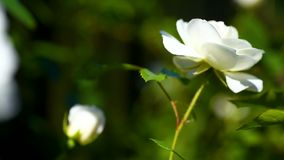 Beautiful white rose. Waving in the wind