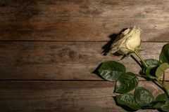 Beautiful white rose on wooden background, top view stock images